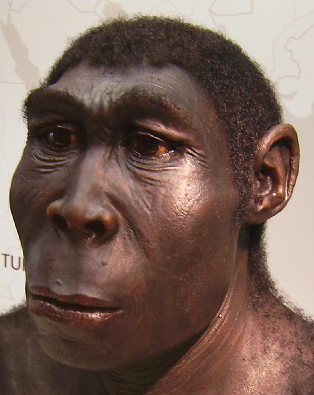 Forensic reconstruction of Homo Eructus face
