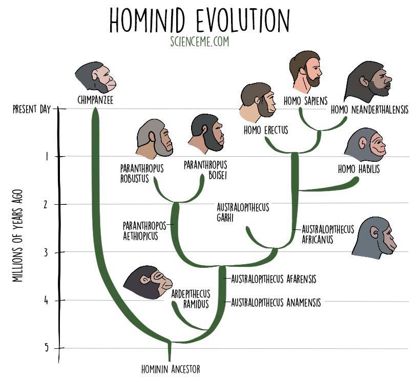 Hominid Evolution Timeline